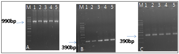 PCR amplification of Wolbachia and phage WO in Spodoptera litura. Lane M is marker 1 to 5 is PCR amplification of specific gene. A. Wolbachia fts Z B strain amplification. B. Phage WO amplification by using orf-2 primer C. Phage WO amplification by using orf-7 primer