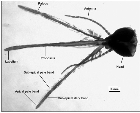 Parts of the Head – palpi, proboscis and antennae of A. subpictus from Bhiwani (Haryana, India).