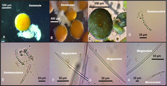 Spicules and gemmules of Spongilla lacustris (Linnaeus 1759) collected in Lake Saklıgöl A-C: gemmules; D-E: spiny gemmosclere; F-G: megasclere smooth oxea, H: megasclere and microsclere (acanthoxeas)