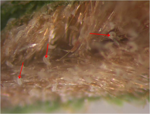 Arrow indicating section of gall showing inner growth of erinea with different life stages of Aceria pongamiae.