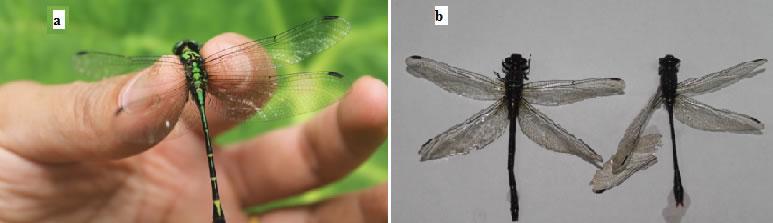 Female thelycum of Metapenaeopsis palmensis