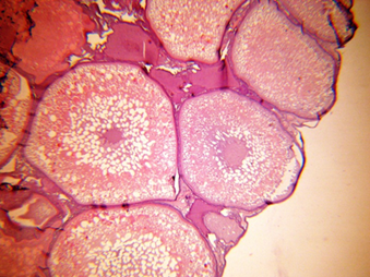 Microphotograph showing previtellogenic oocytes with well-developed nucleus (N). Hematoxylin & Eosin (100X).