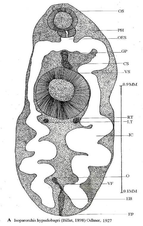 Isoparorchis hypselobagri.