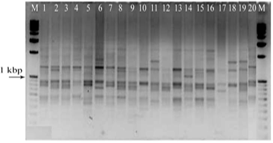 Randomly Amplified Polymorphic DNA (RAPD) finger printing of Uzi fly populations (Table-1) using OPT-06 primer