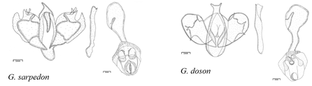 Illustrations of male and female external genitalia. Figs: 1. G. sarpedon; 2. G. doson; 3. G. agamemnon; 4. G. nomius