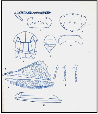 Antenna 2.Head, in frontal aspect 3.Head 4.Thorax 5.Abdomen 6. Pronotum 7.Forewing 8.Hindwing 9.Legs 10.Ovipositor