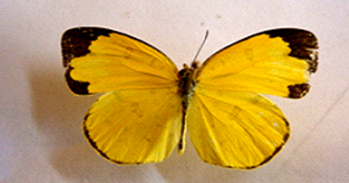 Eurema hecabe simulata Moore, A. Male dorsal side, B. Male ventral side, C. Female dorsal side, D. Female ventral side