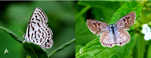 Ventral (a) and dorsal (B) and view of T. venosus