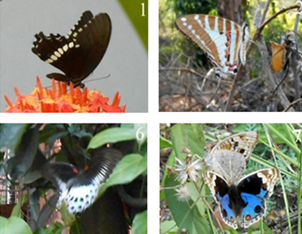 Photographs of the butterflies observed at SNCW campus (see Table 1 for corresponding names)