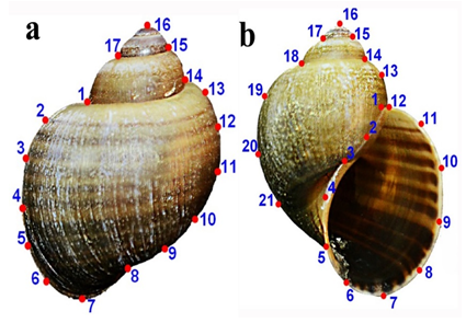 Landmarks used to describe the shape of (a) dorsal and (b) ventral/apertural view of the shell of P. canaliculata.