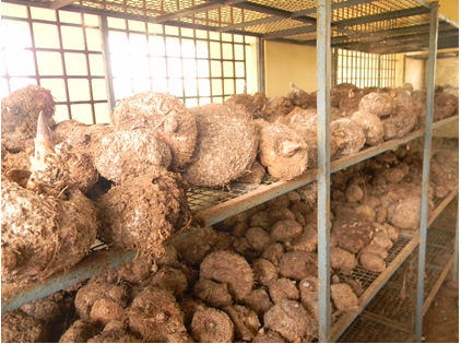 Harvested elephant foot yam tubers stored in storage racks