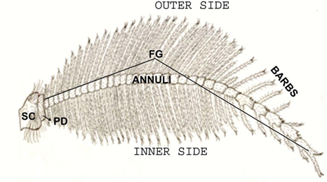 Female antenna (diagrammatic).