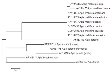 Phylogenetic tree of Apis cerana using NJ method