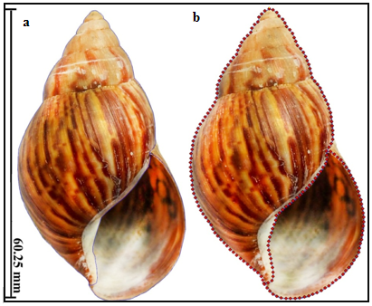 Outline (A, blue line) and coordinates (B, red dots) on the ventral view of the shell of the A. fulica.