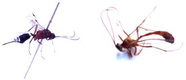 Ichneumonid wasps