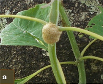 """Distinct casings called """"oothecae"""" where the adult C. leayana lays eggs underneath the leaf petioles or stem-branches"""