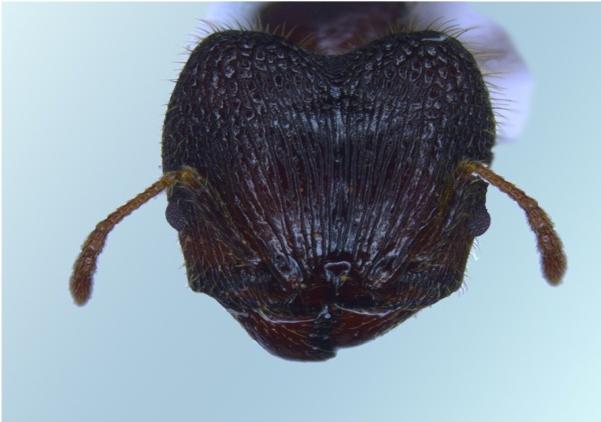Head dorsal view