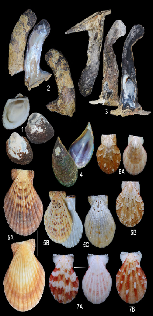 The bivalves of Turtle and Binunsalian Bays. 1. Anadara uropigimelana, 2. Isognomon isognomum, 3. Maleus maleus, 4. Septifer excisus, 5. Decatopecten radula, 6. Juxtamusium coudeini, 7. Bractechlamys vexillum.