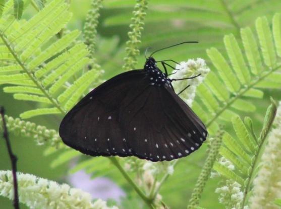 Euploea eunice