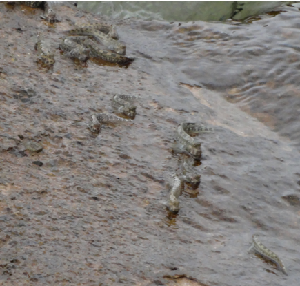 Natural habitat and territorial behavior of mudskippers (photograph taken at Red Sea coast of Duba, Tabuk, Saudi Arabia).