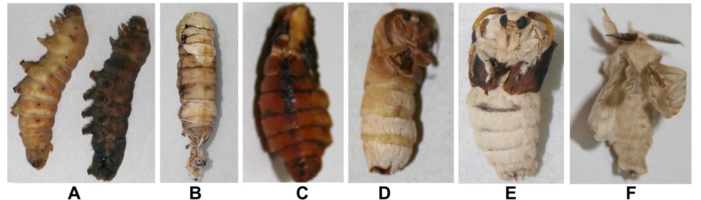 Developmental abnormalities of silkworm, Bombyx mori under heat stress. A, B: disturbed pupal metamorphosis; C: abnormal pupa; D, E: disturbed adult metamorphosis; F: abnormal adult.