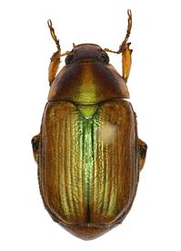 Anomala arthuri (holotype)