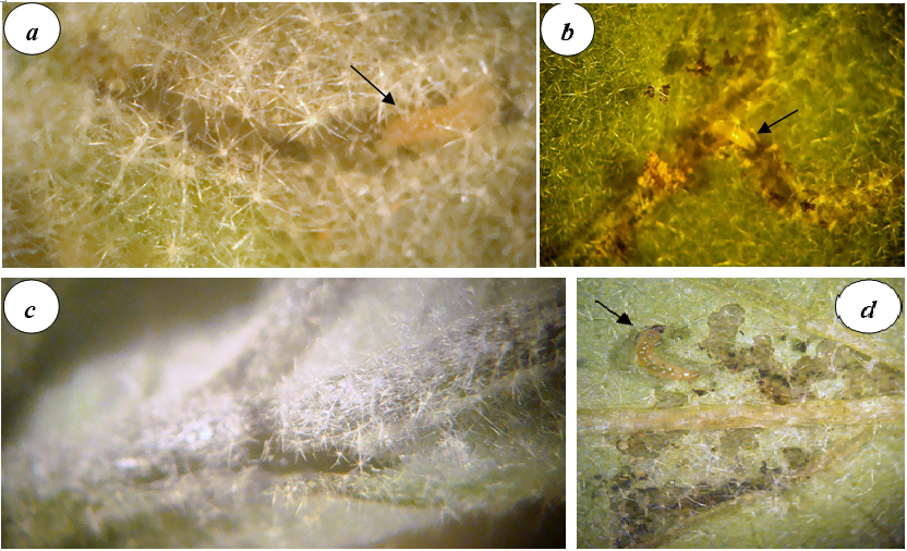 Vein tunneling and feeding behaviour of brinjal shoot and fruit borer, L. orbonalis. a, Extensive feeding of leaf lamellar tissue. b, Homing in onto veins by the first instar young larva and initiation of vein tunneling. c, Fully cross-cut leaf midrib due to feeding and homing. d, Close up of the insect larva extensively feeding in the region of junction of leaf lamella and veins (arrow indicates larval position).
