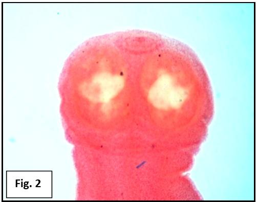 Scolex of cestode parasite Cotugnia digonopora