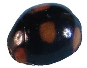 General features of Hyperaspis leechi.