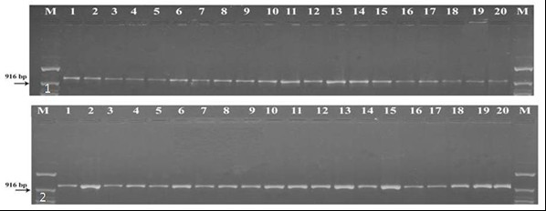 PCR amplification of Wolbachia infection in Uzi fly Exorista sorbillans: A: Lane M is marker, 1 to 20. Uzi fly populations. 1: ftsZ A gene amplification of Wolbachia and 2: ftsZ B gene amplification of Wolbachia.