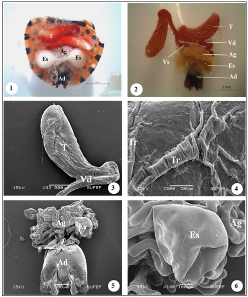 Light photos of general view of the male reproductive system of G. lineatum. Testes (T), vas deferens (Vd), seminal vesicles (Vs), accessory glands (Ag), ectodermal sac (Es), aedeagus (Ad). Figs 3-4: SEM photos of vas deferens and trachea (Tr) on the surface of the testes. Fig 5: SEM picture of accessory glands, ectodermal sacs, aedeagus. Fig 6: SEM photo of ectodermal sac and accessory glands