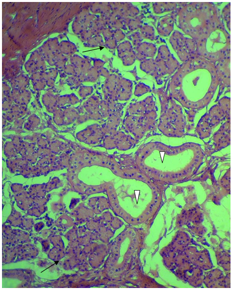 High magnification of buffaloe skin dermis refers to the secretory acini (black arrows) and their duct system (white arrow heads) of sweat glands. H&E stain. X 400.
