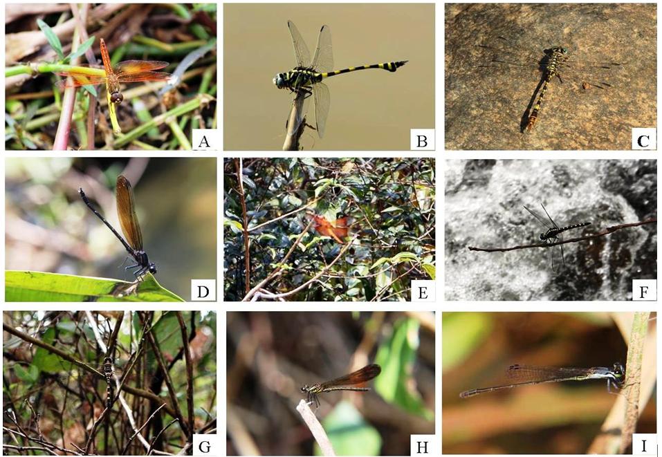 A: Brachythemis contaminate (Fabricius, 1793), B: Ictinogomphus rapax (Rambur, 1842), C: Paragomphus lineatus (Selys, 1850), D: Dysphagia ethela Fraser, 1924, E: Camacinia gigantea (Brauer, 1867), F: Onychothemis testacea Laidlaw, 1902, G: Zygonyx torrida (Kirby, 1889), H: Aristocypha quadrimaculata Selys, 1853, I: Ceriagrion rubiae Laidlaw, 1916