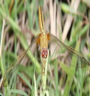 Aethriamanta brevipennis