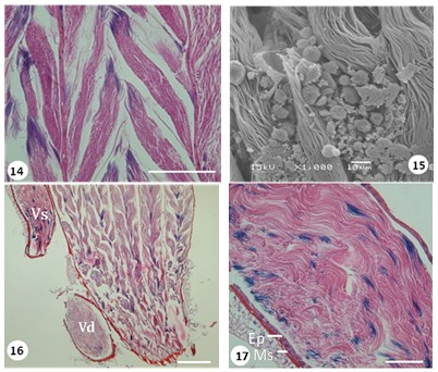 Light and SEM photos of spermatozoa bundles in differentiation zones the testes follicles of G. lineatum (Bar 100µm).